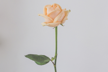 Atmospheric toned photo of the cream withering rose on the single color background