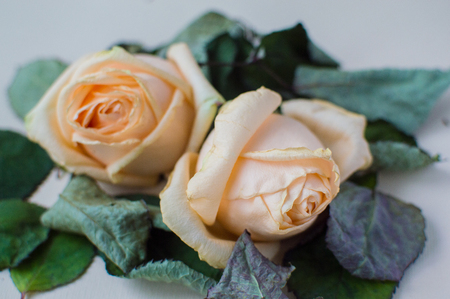 Close-up photo of the two rose on the pink pastel background. Womens day concept.