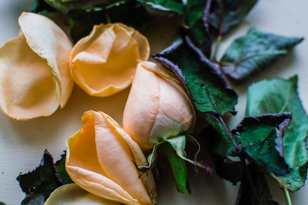 Close-up photo of the rose bud with fallen leaves on the background. Women's day concept.