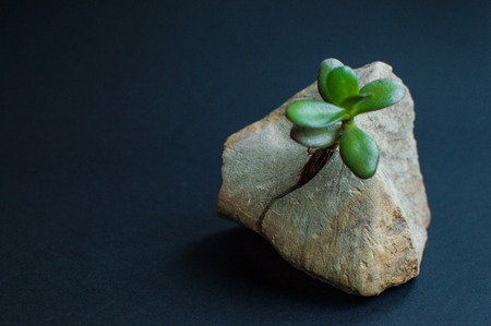 Rock split in two parts by the small green succulent plant. Dark blue, close to black background. Motivational concept of stamina, strength, hope, achievement, treatment, healthcare.