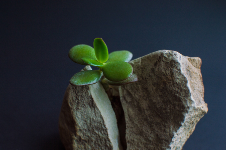 Close-up viewof the rock split in two parts by the small green succulent plant. Motivational concept of stamina, strength, hope, achievement, treatment, healthcare.