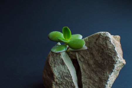 Stone split in two parts with the small green succulent plant. Dark blue, close to black background. Motivational concept of stamina, strength, hope, achievement, treatment, healthcare.