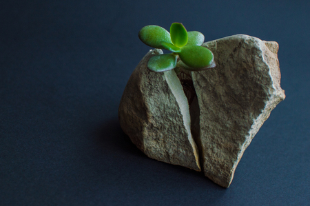 Small succulent plant splitting the rock in two parts. Motivational concept of the stamina, strength, hope, treatment, healthcare.
