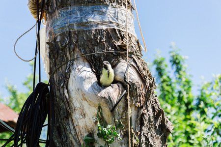 Close-up view of the small titmouse fledgeling looking out from the hollow before its first flight. Tree where the nest is being placed is polluted with ropes, wires and scotch tapes. Environment pollution and ecology problems concept. Stock Photo