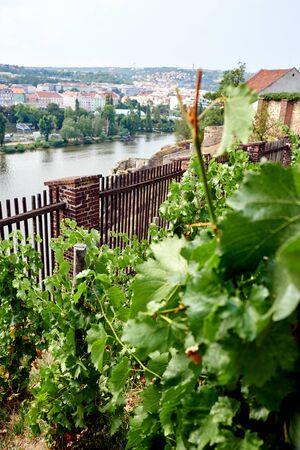 Petit vignoble en République Tchèque