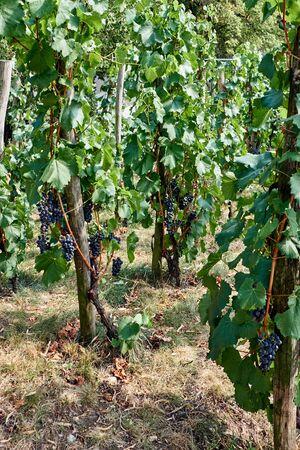 Small vineyard in Czech Republic 版權商用圖片