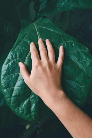 Top view of the female arm touches very big leaf of the tropical plant. Concept of the environment protection, care, greenhouse effect. Stockfoto
