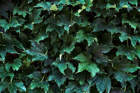 Green ivy leaves. Close-up high resolution pattern, background.