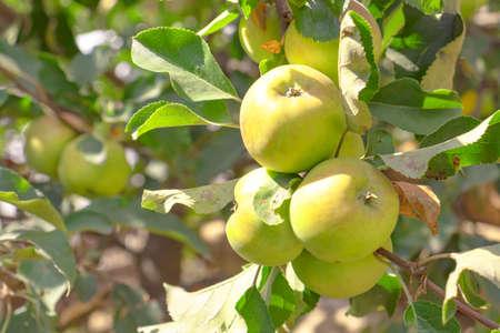 Fresh green apple background. Closeup of a bunch of bio organic green apples.