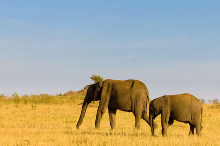 mara: Mother and baby elephant in the Masai Mara National Park