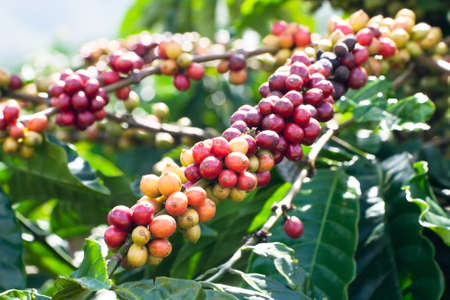 coffee harvest: Ripening coffee beans on a tree Stock Photo