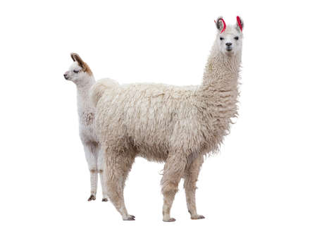 alpaca: Two llamas on the white background Stock Photo
