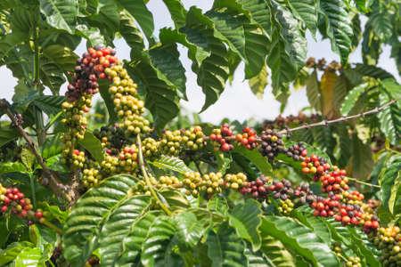 Rijpen koffiebonen op de boom