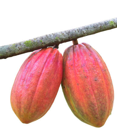 Ripe cocoa beans on the white background