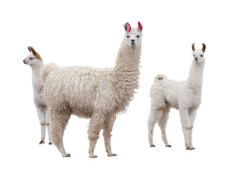 alpaca: Female llama with babies Stock Photo