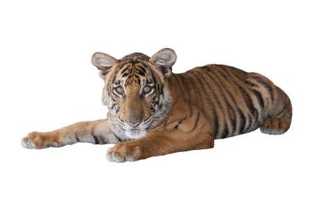 tiger cub: Lying tiger cub on white background