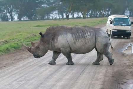 White rhino crossing the road Stock Photo