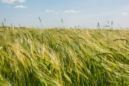 field crop: Field crop farm sky beautiful view of human labor farmer