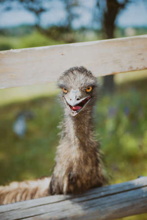 emu: Portrait of Emu head face and neck in a farm