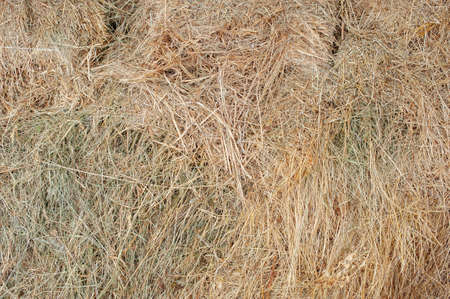 Texture hay closeup in color. Fodder for livestock and construction material. Stock Photo