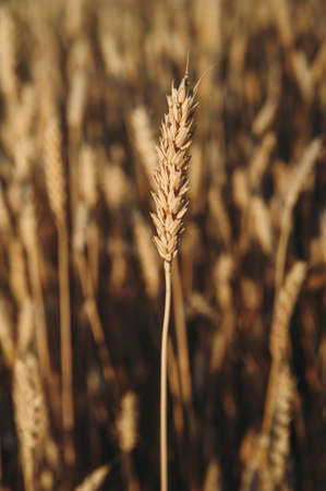 golden field of wheat, ears of rye Stockfoto - 130101455