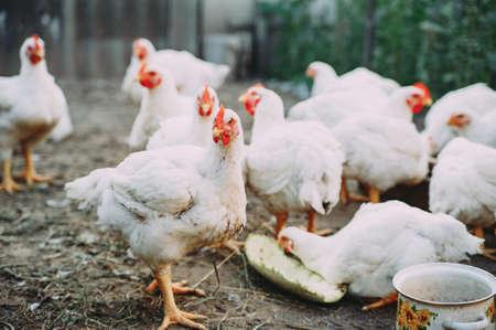 broiler chickens. chicken farm. bird flu. chicken meat