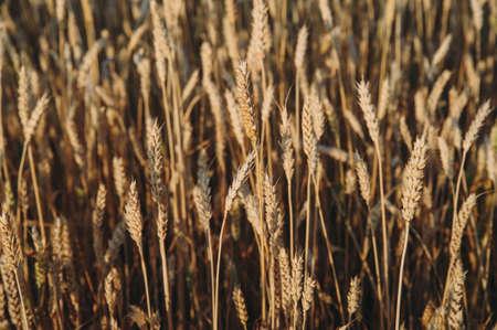 golden field of wheat, ears of rye
