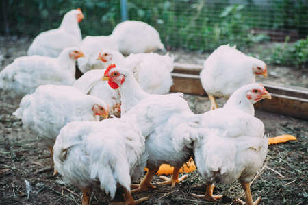 white hens on the farm. chickens. bird flu Stockfoto - 130101570