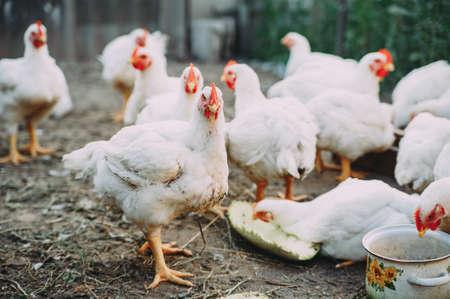 broiler chickens. chicken farm. bird flu. chicken meat Stockfoto - 130101566