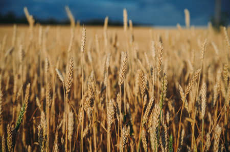 Golden, ripe wheat against blue sky background. Stockfoto - 130101585