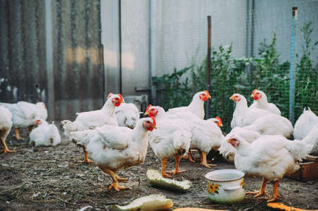 white hens on the farm. chickens. bird flu 版權商用圖片