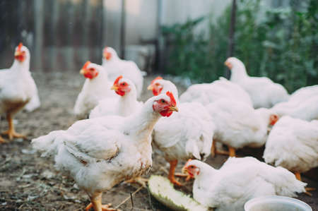 broiler chickens. chicken farm. bird flu. chicken meat Stockfoto - 130101595