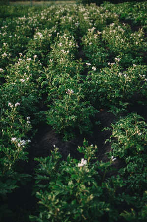 A Flowering potatoes in the summer day Stockfoto