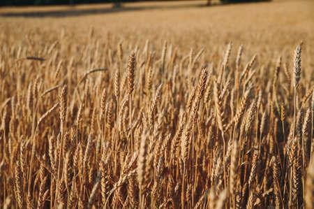 golden field of wheat, ears of rye Stockfoto - 130101609