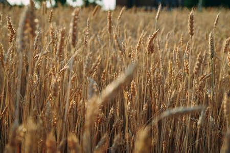 Golden wheat field of wheat ears. summer