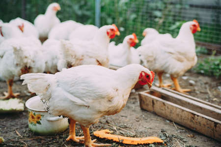 broiler chickens. chicken farm. bird flu. chicken meat
