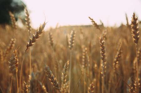 Golden wheat field of wheat ears. summer Stockfoto - 130101660