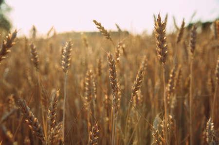 Golden wheat field of wheat ears. summer Stockfoto - 130101663