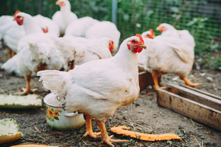 white hens on the farm. chickens. bird flu Stock Photo