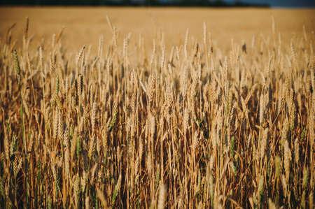 golden field of wheat, ears of rye Stockfoto - 130101677