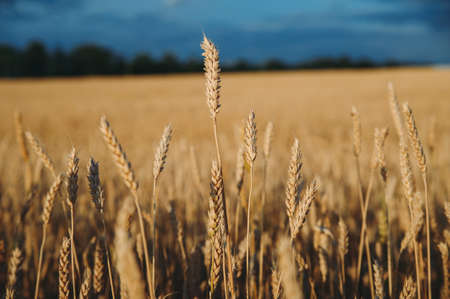 Golden, ripe wheat against blue sky background. Stockfoto - 130101676