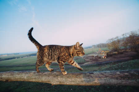 rustic tabby cat runs on a log at dawn