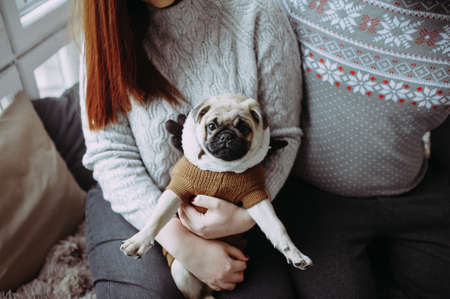 Pug dog in the hands of a girl in the studio
