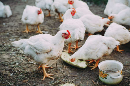 White adult broilers are walking in the yard Zdjęcie Seryjne