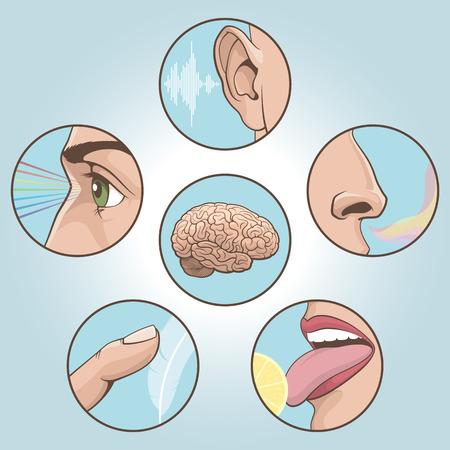 sensory perception: A set of six anatomical images. Vector illustration Illustration