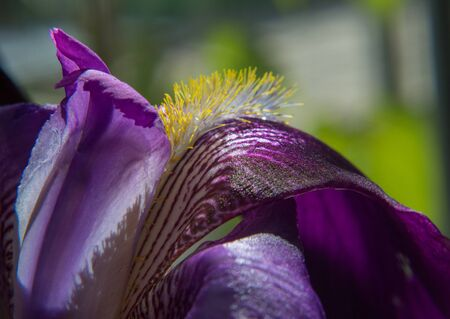 Natural floral background with purple bearded iris on a blurred background. Macro shot of a iris flower.  Shallow focus. Daylight. Reklamní fotografie