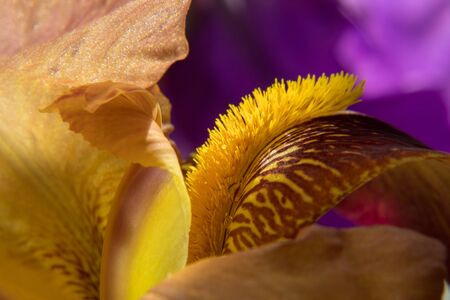Natural floral background with yellow bearded iris on a purple background. Macro shot of a iris flower with dew drops on the petals.  Shallow focus.