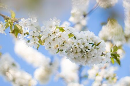 Spring blooming tree branches. White flowers and green leaves. White cherry blossoms against a blue sky. Blurring background Reklamní fotografie