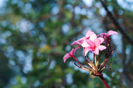 Tropical flower pink plumeria on the tree Stock Photo - 13315284