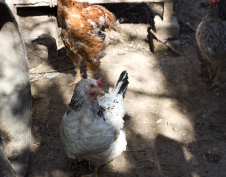 agricultura: Group of chickens Stock Photo